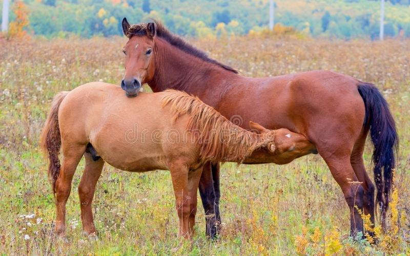 A horse with a small foal in a meadow. Horses graze in early spring in the meadow. Little foal sucks mom royalty free stock photography
