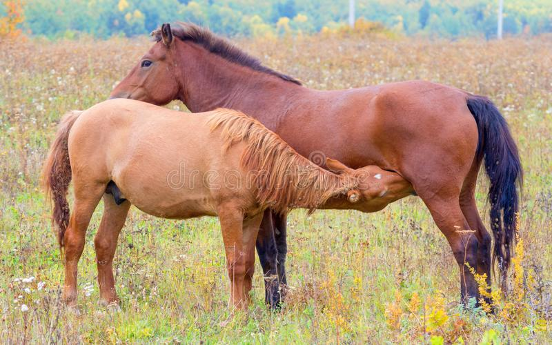 A horse with a small foal in a meadow. Horses graze in early spring in the meadow. Little foal sucks mom royalty free stock photos