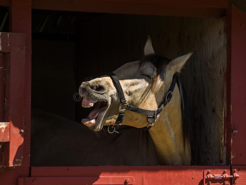 Horse smiling royalty free stock image