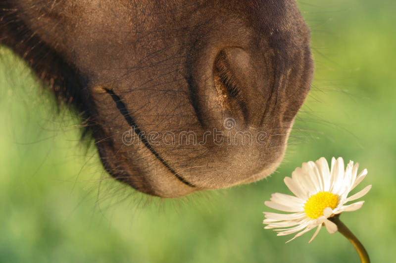 Horse sniffing flower royalty free stock image