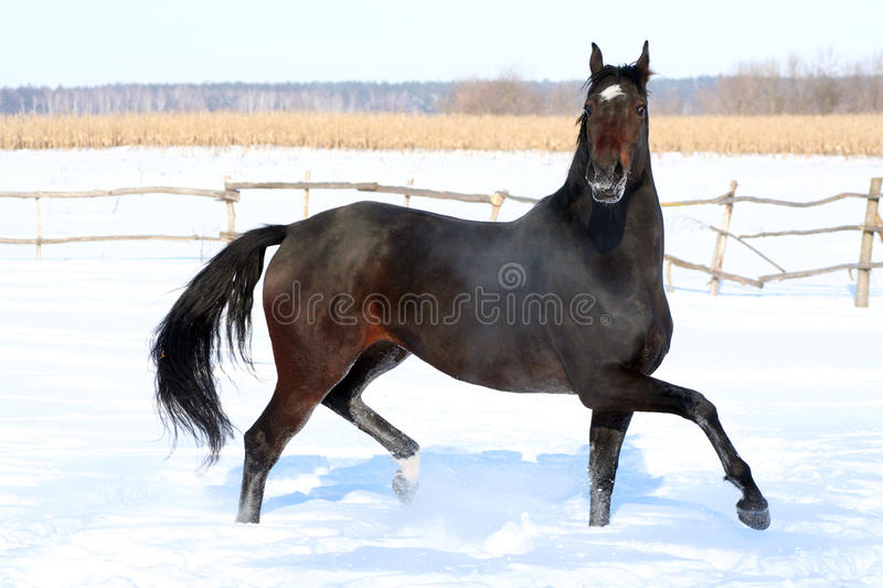 Horse in the snow royalty free stock image