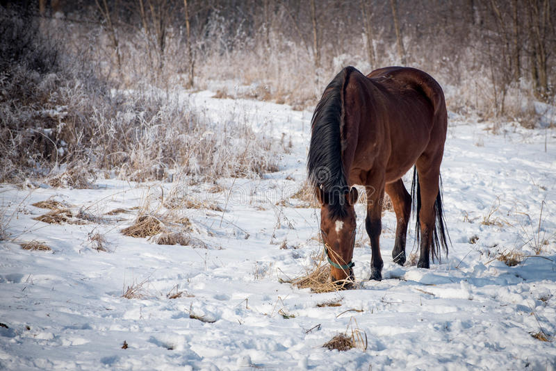 Horse on the snow royalty free stock image