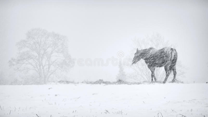 Horse In Snow Storm Royalty Free Stock Image