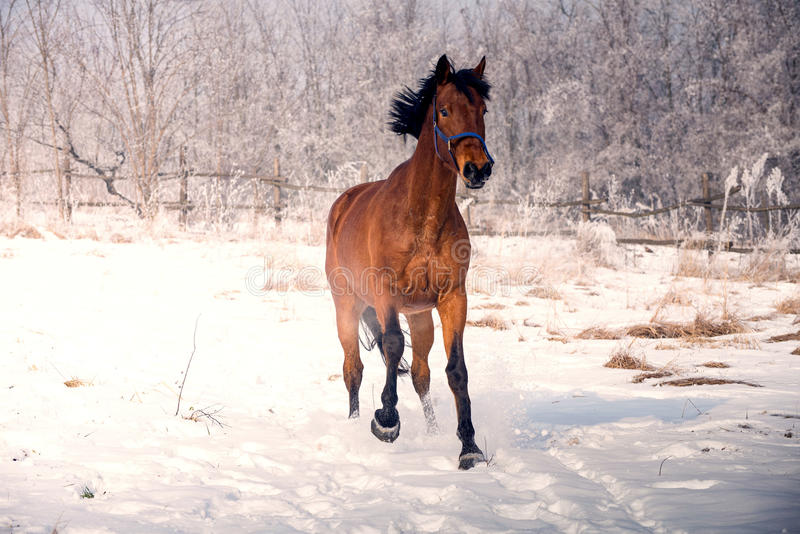 Horse on the snow stock images