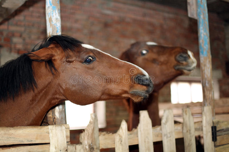 Horse In The Stable Stock Photo Image 50240342