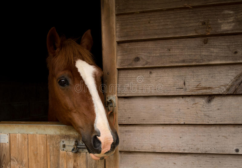 Horse in stable. Quiet moment with a horse poking his head out of the stable royalty free stock photo