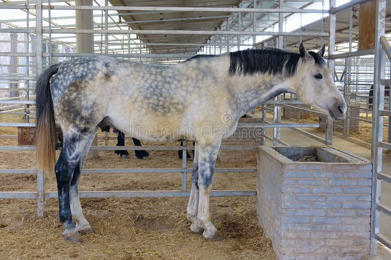 Horse in stable. The tall and strong horse with speckles stands in stable stock image
