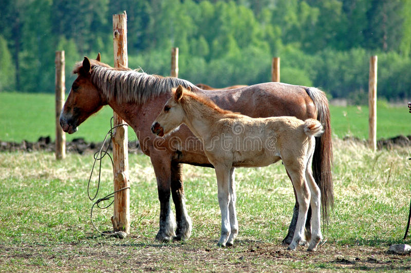 Download Horse and Stallion stock image. Image of agricultural - 11369493
