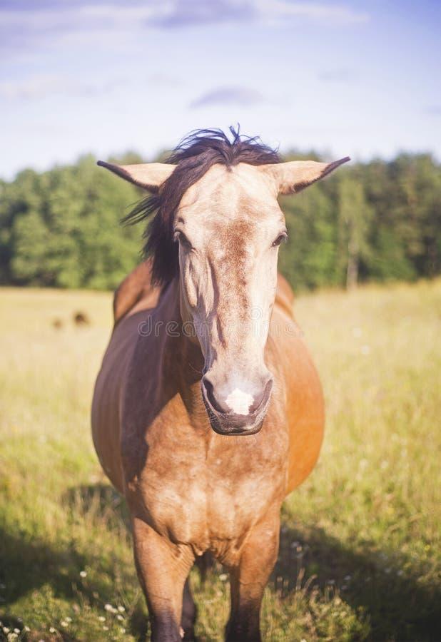 Horse staring to camera royalty free stock photo