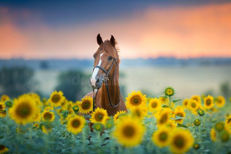 Horse on sunflowers royalty free stock photo