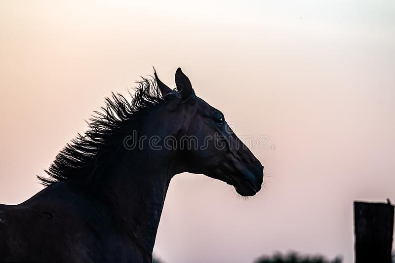 horse at sunrise in the meadow stock images