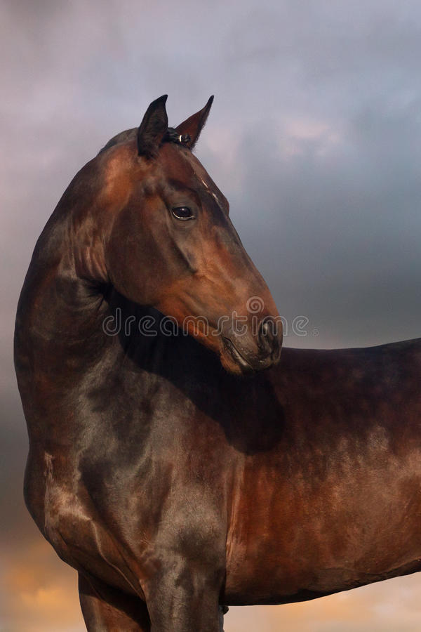 Horse at sunset. Horse portrait against the sunset sky royalty free stock image