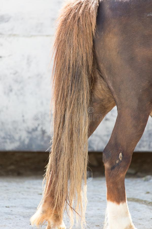 Horse tail royalty free stock image