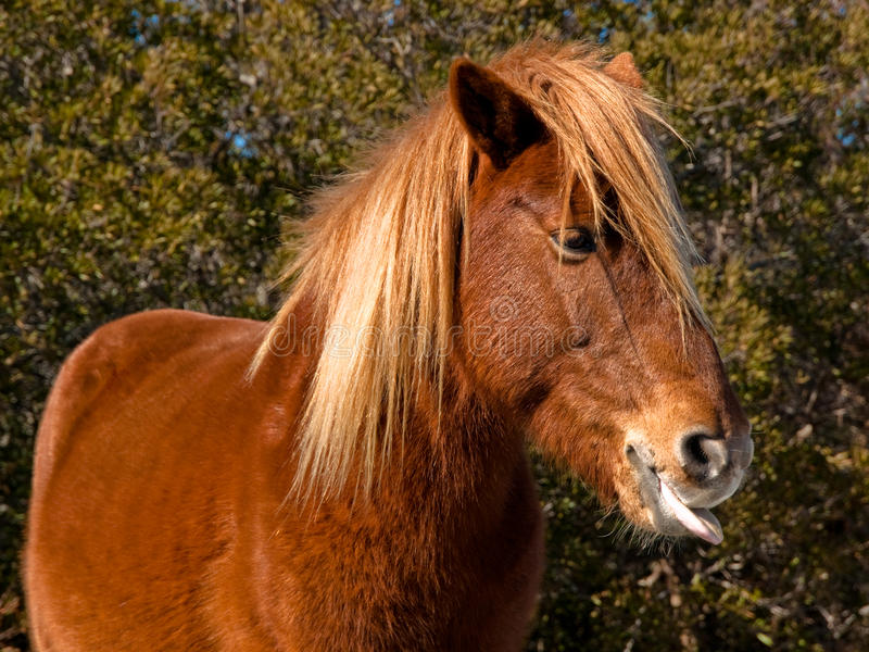 Download Horse tongue stock photo. Image of horse, refusing, tongue - 11184902