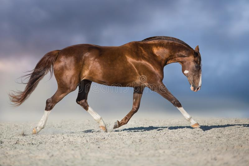 Horse trotting in desert stock photo