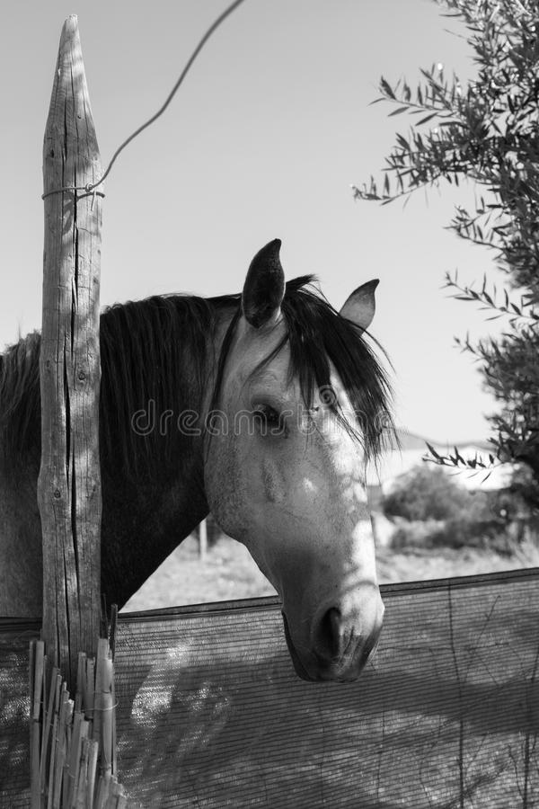 Horse trying to get a carrot. Alentejo the most dry and warm part of Portugal although it is one of the most produtive. A horse asks for a carrot stock image