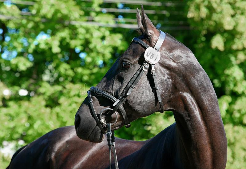Race horse turn head portrait. Horse turn head portrait in green tree leave background stock photography
