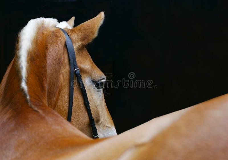 Horse turning royalty free stock photo