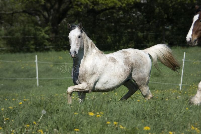 Horse turns on the meadow stock images