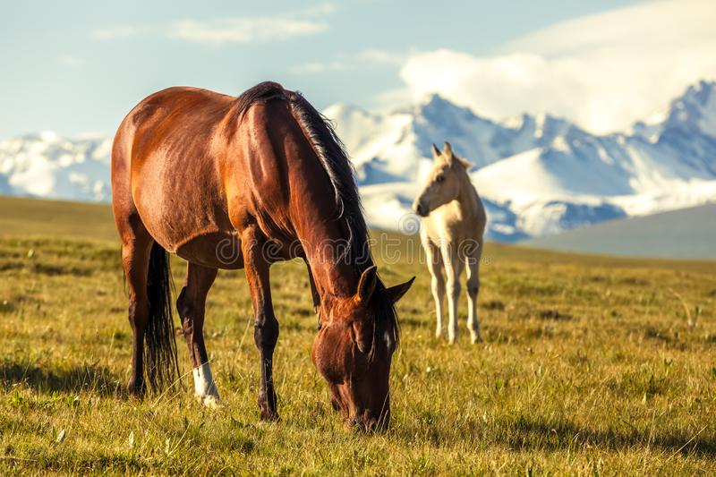 The horse under snow mountains royalty free stock images