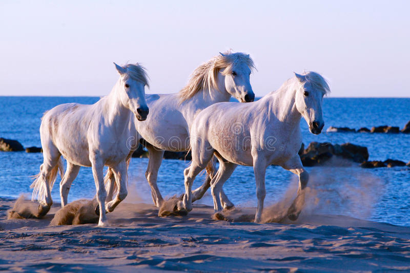 Horse Walk, Three white horses walking on the beach. Three white horses troting on beach in the Carmargue,South of France royalty free stock photos