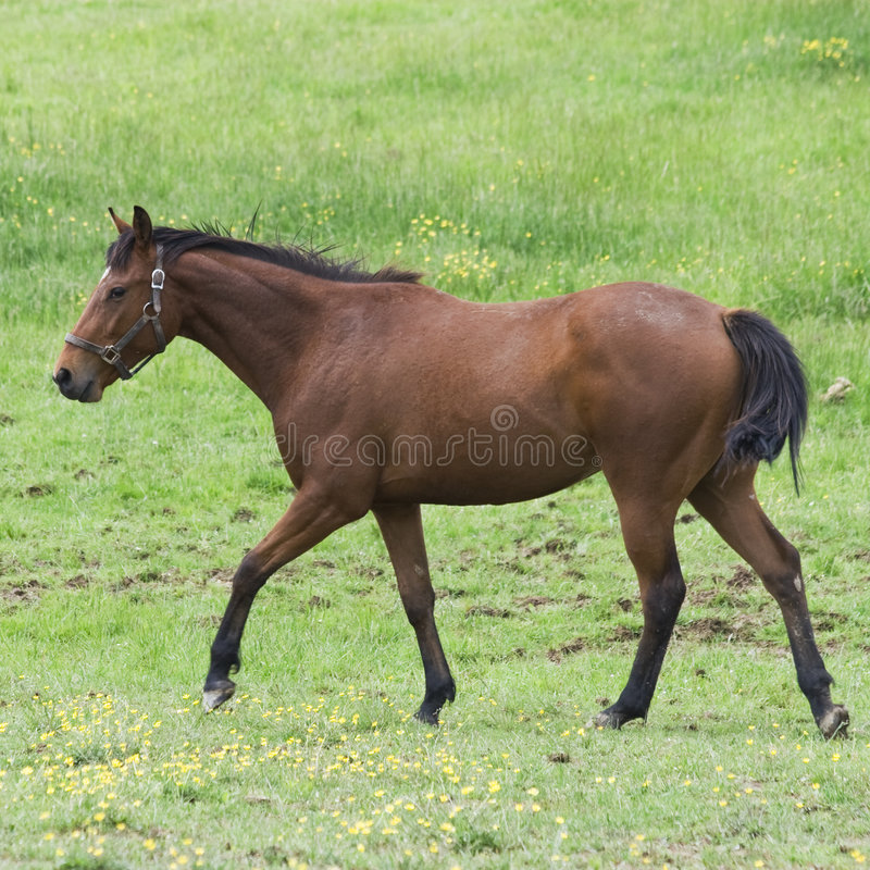 Horse walking. Brown and black quarter horse walking in field stock images
