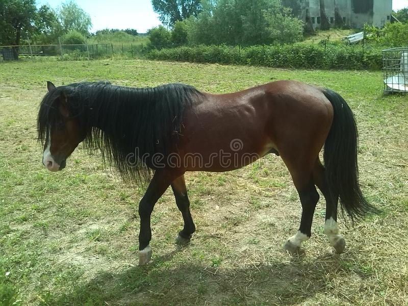 Horse walking royalty free stock photo