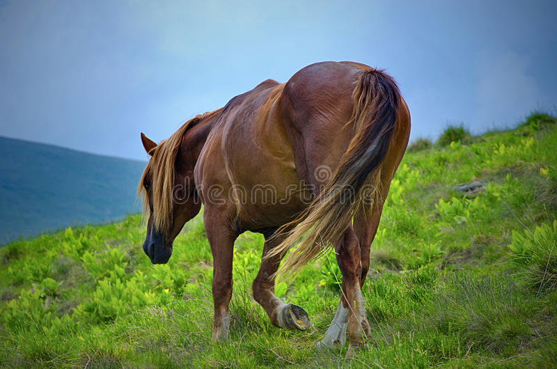 Horse walking on a fresh mountain pasture royalty free stock photography