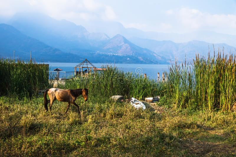 Horse walking on a meadow along Lago Atitlan with mountainrange, San Juan la Laguna, Guatemala, Central America stock images