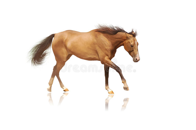 Download Horse on white stock image. Image of beautiful, action - 12026367