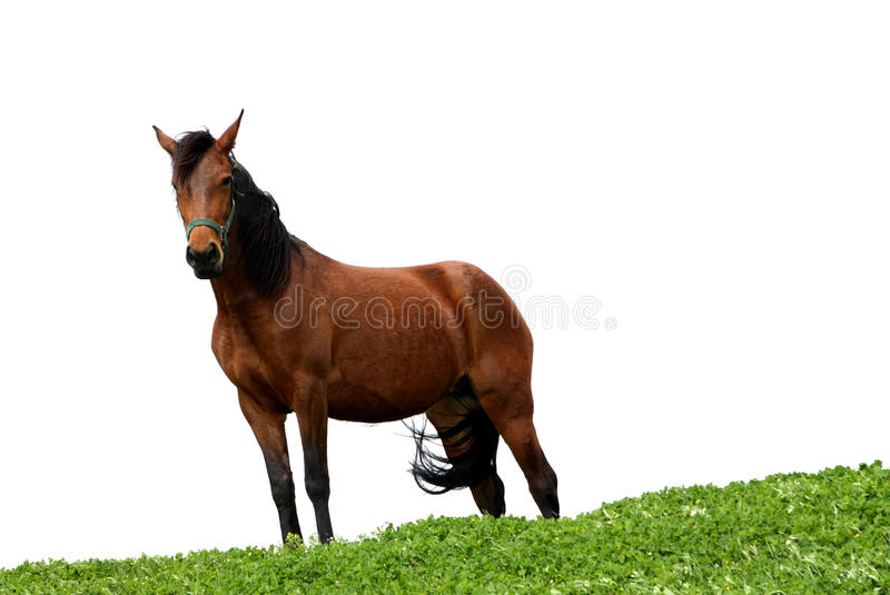 A horse on white royalty free stock photos