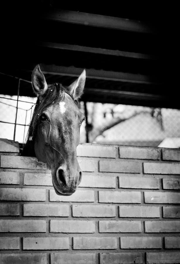 Horse, White, Black, Black And White stock images