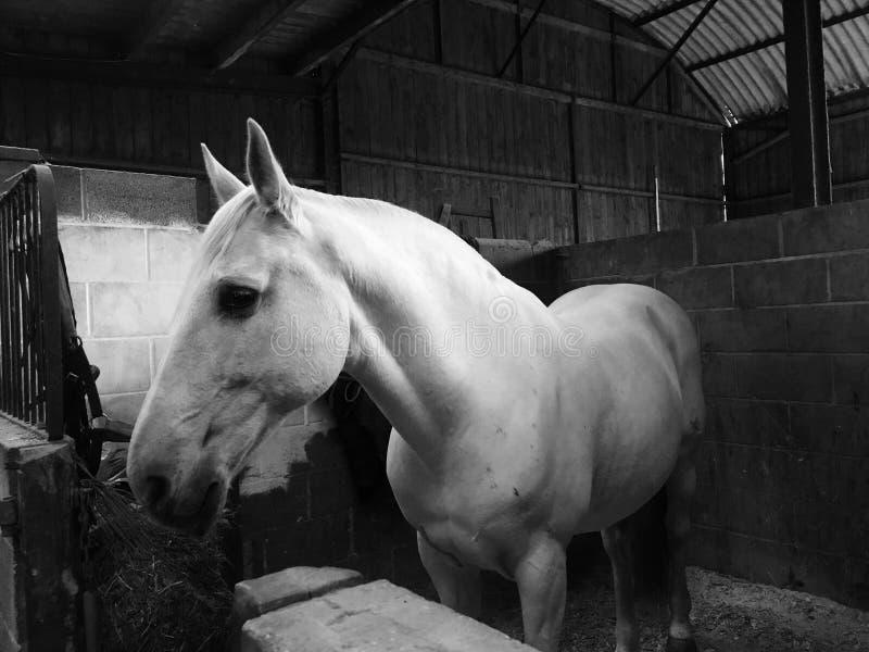 Horse, White, Black, Black And White stock photo