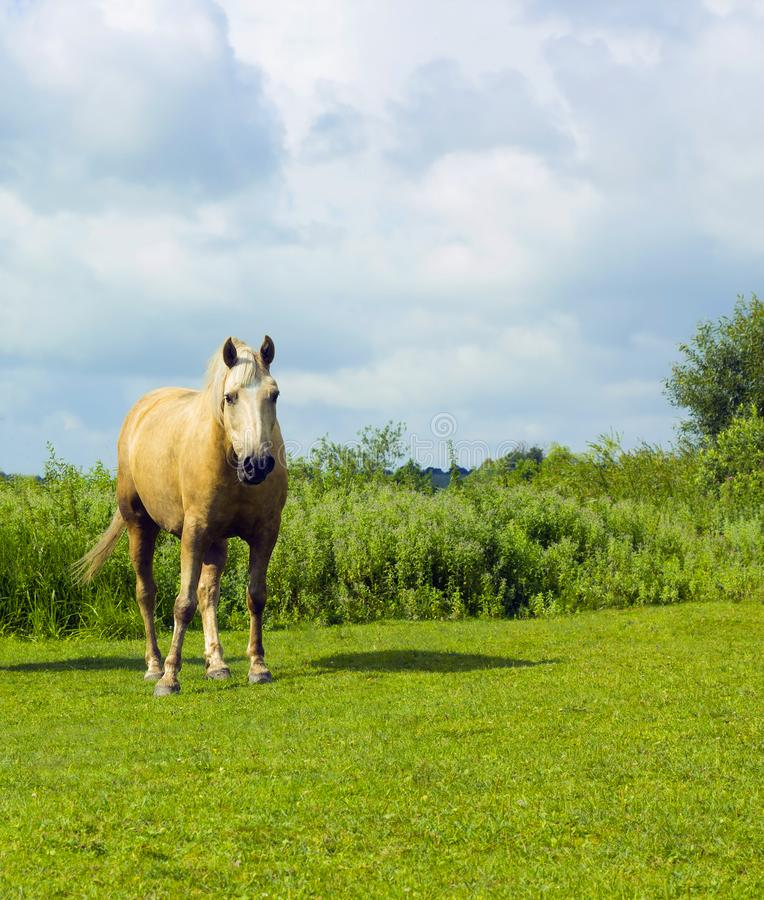 Horse white color grazing on green glade. Summer rural scene in village under cloudy blue sky. Scene of wildlife stock image