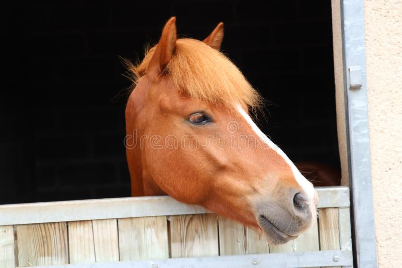 Horse with white line on the nose beautiful portrait black background stock photos