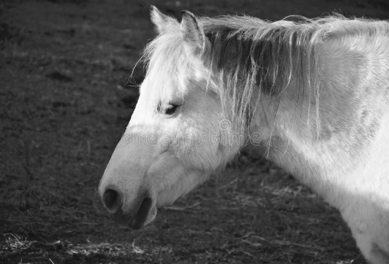 Horse, White, Mane, Black And White stock photos