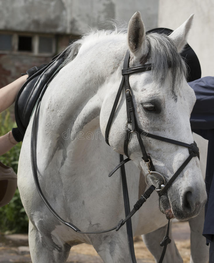 Horse white. Preparing a white horse for dressage royalty free stock photos