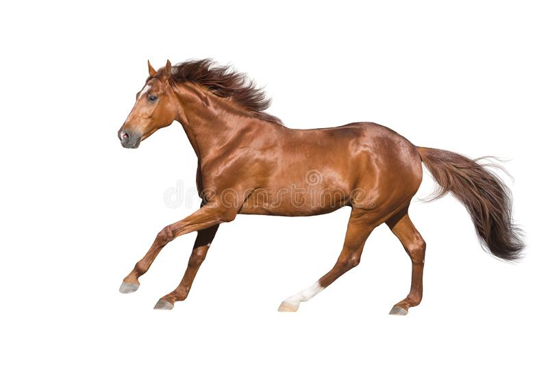 Horse on white royalty free stock images