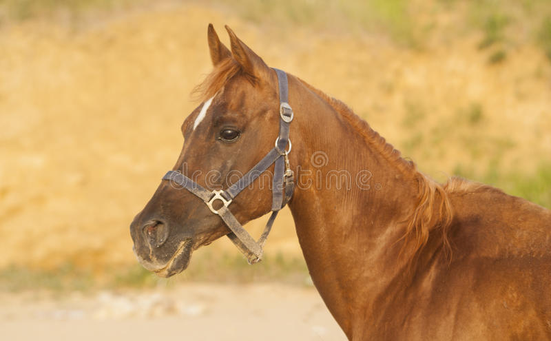 A horse with a white spot on his head stand. In a blue halter royalty free stock photos