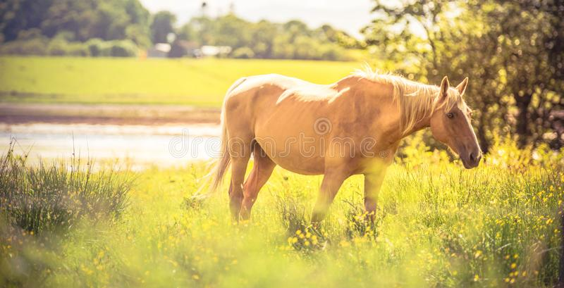 Horse - wild brown horse running on a green meadow stock photos