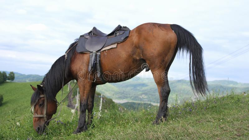 Beautiful horse grazing in a wild nature on the top of a mountain in Altay. Horse in a wild nature royalty free stock photos