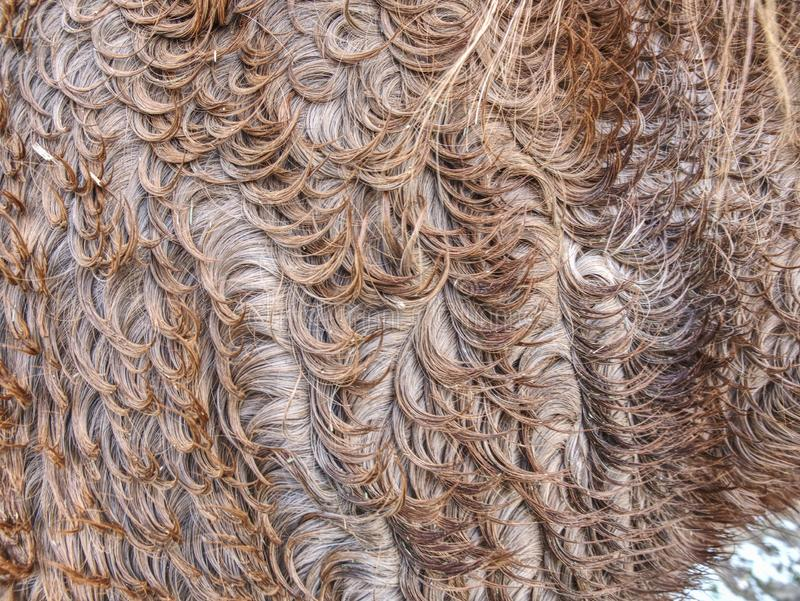 Horse winter fur. Animals prepare bodies. Horse winter fur. Animals prepare their bodies for winter season background bacteria beautiful brown bumpy close-up stock photography
