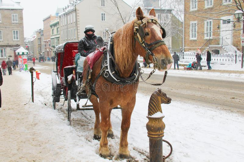 Horse in winter in Quebec City serve as transportation to mostly to tourist. Horse in winter season in Quebec City Canada catering mostly to tourist stock image