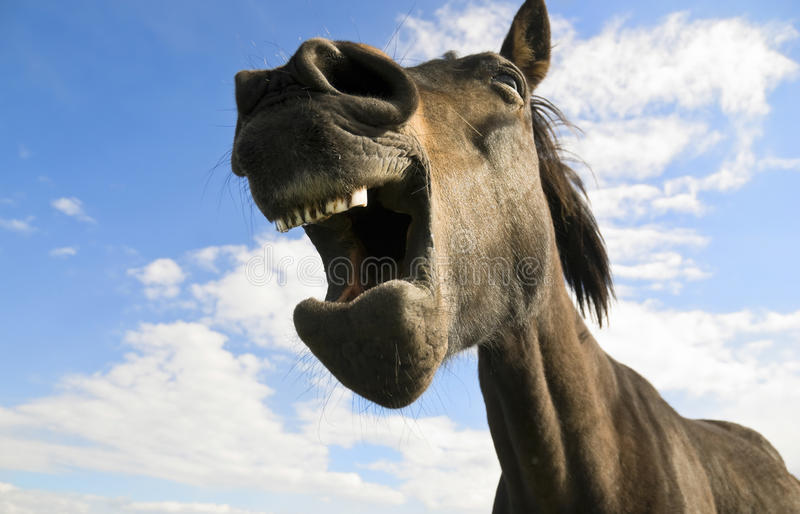 Horse yawning royalty free stock photos