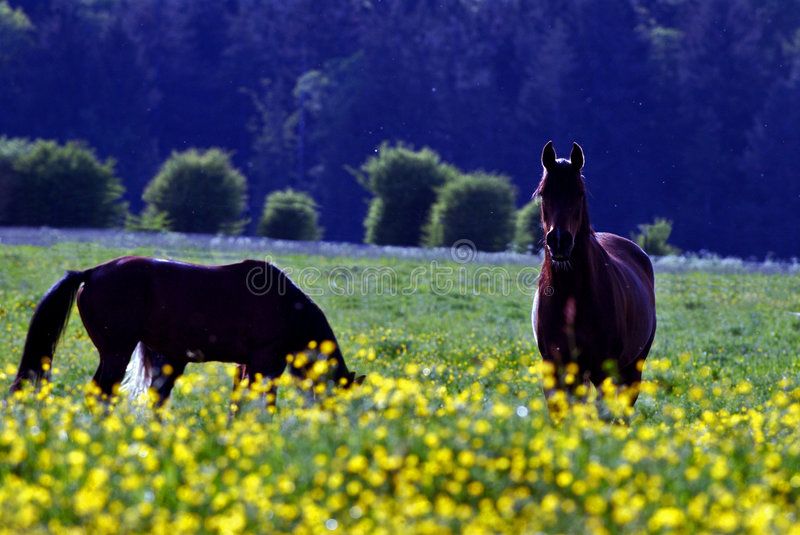 Horse and yellow flowers stock photo