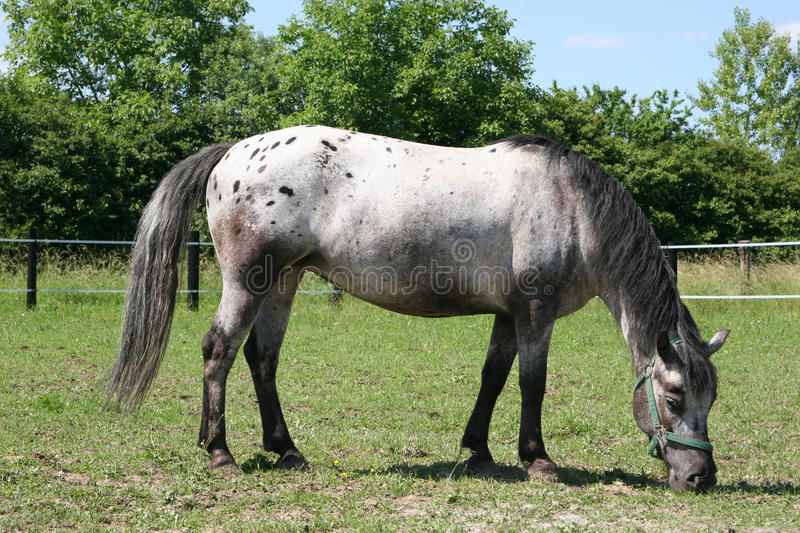 Download Horse - Young Mare Appaloosa Stock Photo - Image of black, equitation: 14616654
