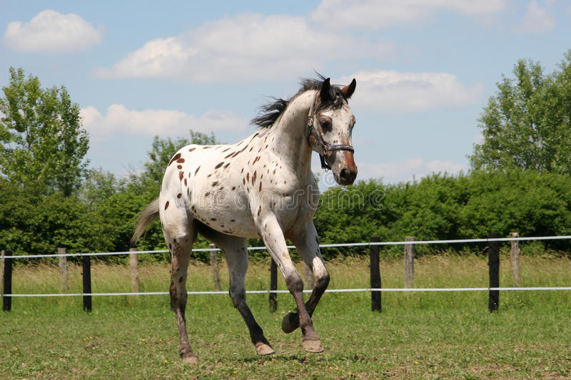 horse - young stallion Appaloosa royalty free stock photography