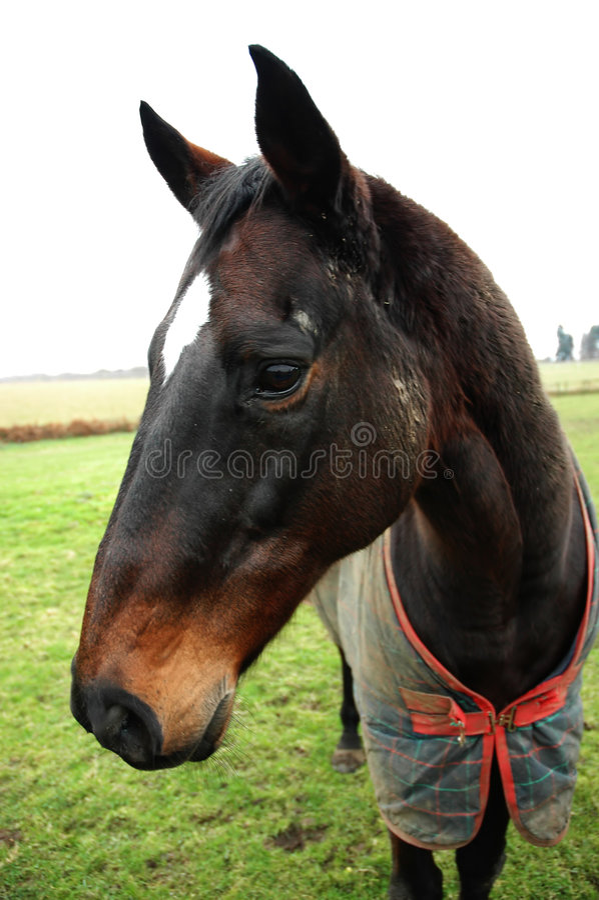 Horse1 库存图片