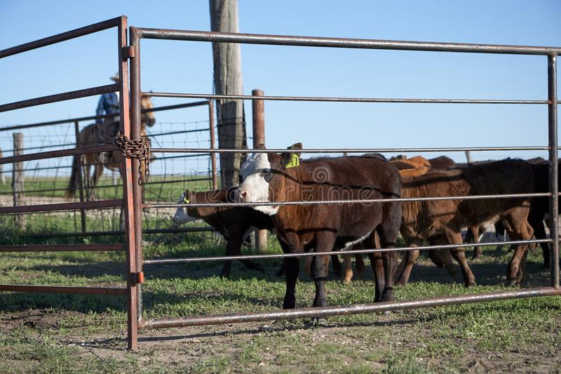 Horseback riding cowboy herding cattle. Grazing in pasture on sunny day, Kansas, USAe royalty free stock photography
