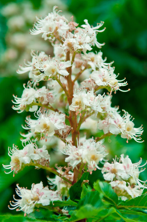 Horsechestnut (Aesculus hippocastanum, Conker tree) flowers royalty free stock photography